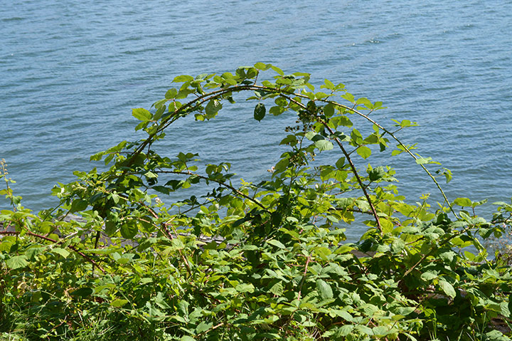 Stanley Park invasive plants - arching canes of Himalyan blackberry