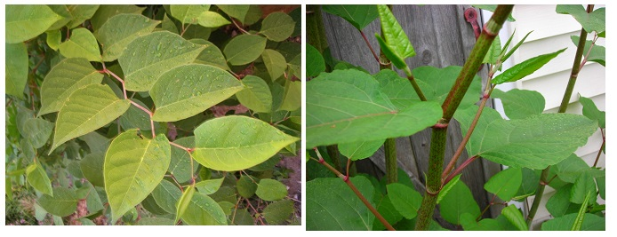 Stanley Park invasive plants - Japanese Knotweed