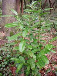 Stanley Park invasive plants - English Laurel, prunus laurocerasus