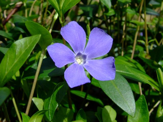 Stanley Park Invasive Plants - periwinkle flower