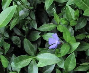 Stanley Park invasive plants - periwinkle leaves